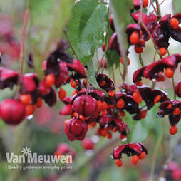 Euonymus europaeus 'Red Cascade' (Large Plant)