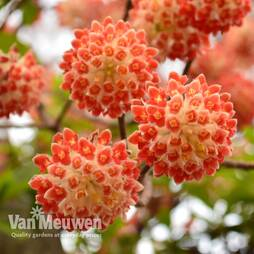 Edgeworthia chrysantha 'Red Dragon'
