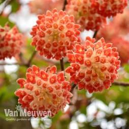 Edgeworthia chrysantha 'Red Dragon'