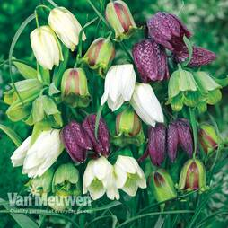 Fritillaria meleagris 'Spring Bells'