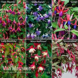 Fuchsia 'Hardy Potted Collection'
