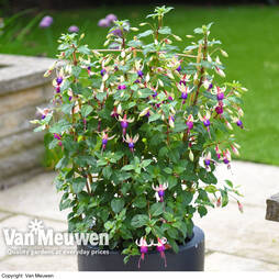 Fuchsia 'Ellebel' on Trellis