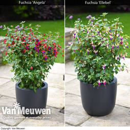 Fuchsia Hardy Trellis Collection