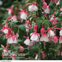Fuchsia 'Beauty Queen' (Hardy)