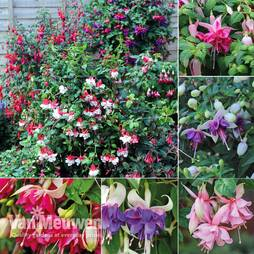 Nurserymans Choice Fuchsias
