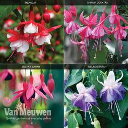 Fuchsia 'Hardy Collection'