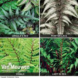 Fern 'Fantastic Collection'