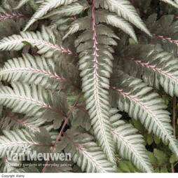 Fantastic Fern 'Pewter Lace'