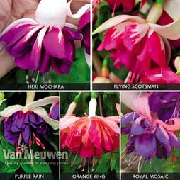 Fuchsia 'Giant Marbled Collection'