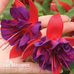 Fuchsia 'Voodoo'
