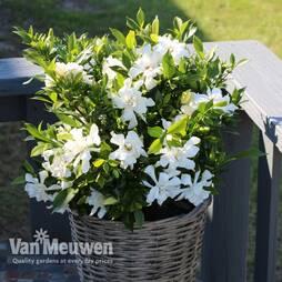 Gardenia 'Celestial Star'