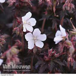 Geranium 'Black and White Army'