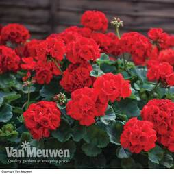 Geranium 'Best Red' F1 Hybrid