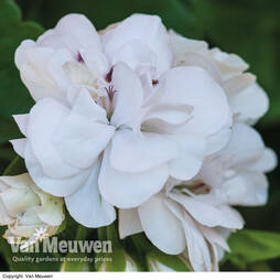 Geranium 'White Rose'