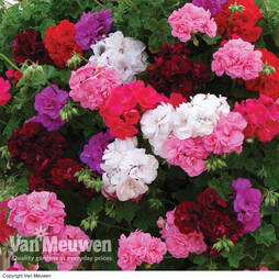 Geranium 'Rosebud Collection'