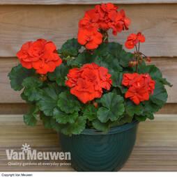 Geranium 'Grandeur Red' (Pre