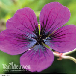 Geranium 'Dragon Heart'