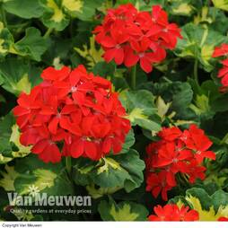 Geranium 'Happy Thought Red'
