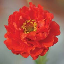 Geum 'Blazing Sunset' (Garden Ready)