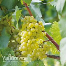 Grape 'Chardonnay'