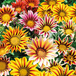 Gazania 'Tiger Stripes'