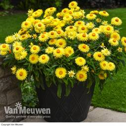Helichrysum 'Nevada Gold'