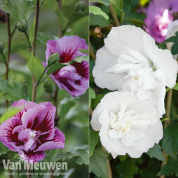 Hibiscus syriacus 'Pillar Collection'