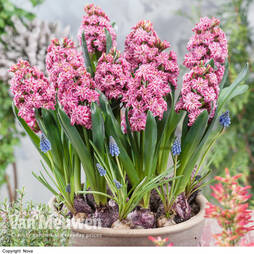 Hyacinth Double 'Eros'