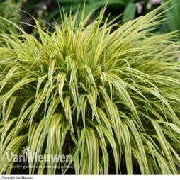 Hakonechloa macra 'Aureola' (Large Plant)