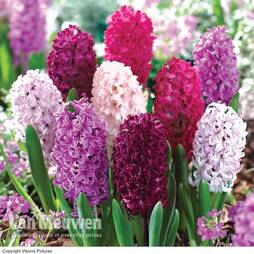 Hyacinth 'Berries and Cream Mix'