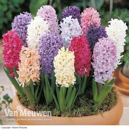 Hyacinth Breeders Selection