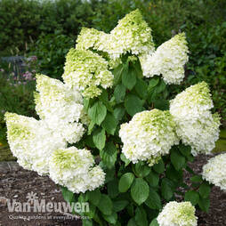 Hydrangea paniculata 'Magical Moonlight'