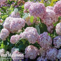 Hydrangea arborescens 'Candybelle® Bubblegum'