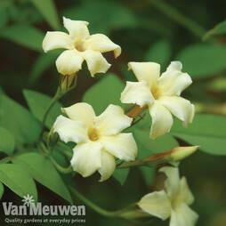 Jasmine 'Clotted Cream'
