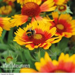 Perfect Pollinators Perennial Collection