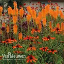 Red Hot Poker 'Mango Popsicle'