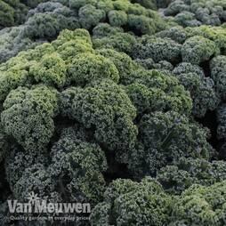 Kale 'Reflex