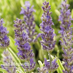 Lavender 'Platinum Blonde'