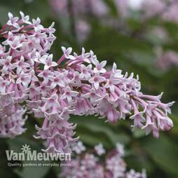 Lilac josikaea