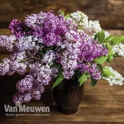Lilac 'Saugeana'