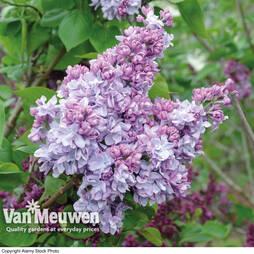 Lilac 'Katherine Havemeyer' (Large Plant)