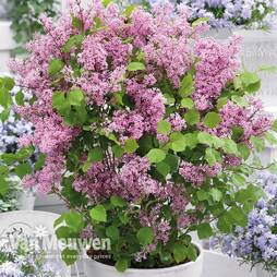 Lilac (dwarf) Flowerfest Pink