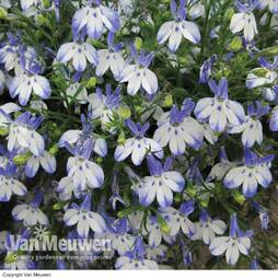 Lobelia 'Hot Pretty Heaven'