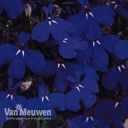 Lobelia erinus 'Regatta Midnight Blue'