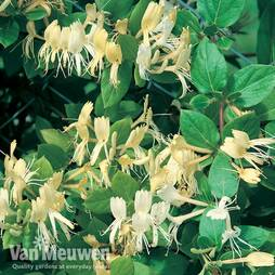 Honeysuckle 'Halliana'