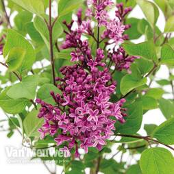 Lilac 'Bloomerang Dark Purple'
