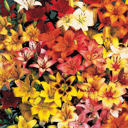 Lily 'Asiatic Mix'