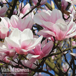 Magnolia campbellii 'Dick Banks'