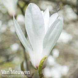 Magnolia x veitchii 'Columbus'
