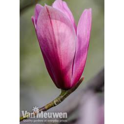 Magnolia 'Spectrum'